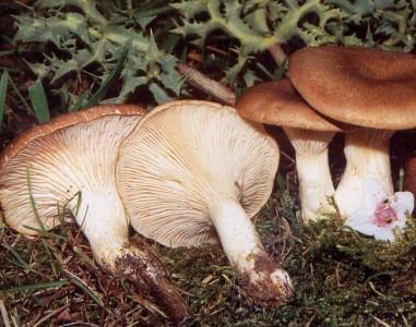 Seta de Cardo Fresca Silvestre